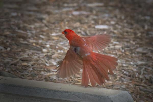 Cardinal lifting off