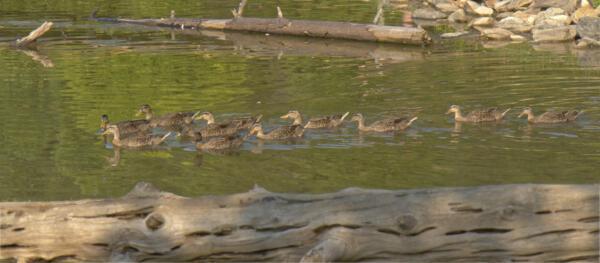 Ducks at Lake Zwerner near Dahlonega, GA