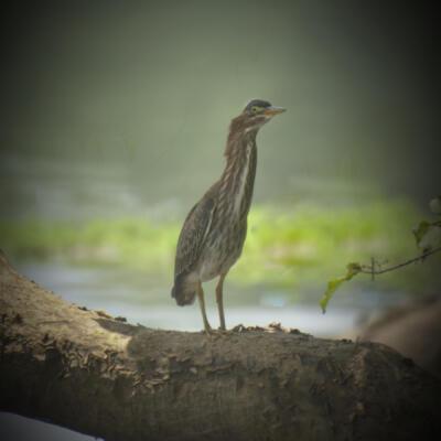 Green Heron at Jones Bridge