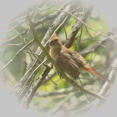 Cardinal in a tree at Jones Bridge