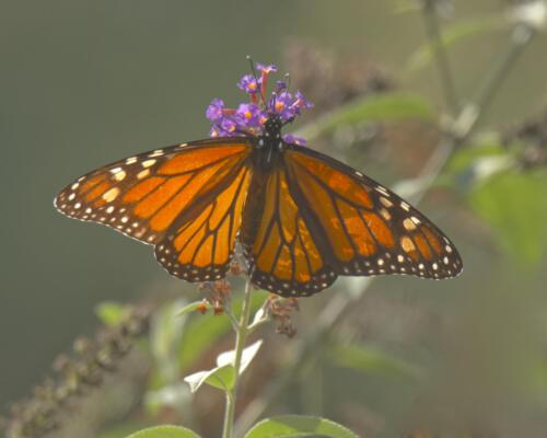 Monarchs of Bridle Ridge, in a neighbor's yard