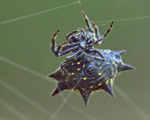 Spider on the lorapetalum