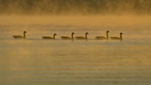 Geese in the mist on Lake Lanier